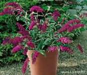 burgundy Butterfly Bush, Summer Lilac