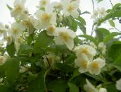 white Mock orange