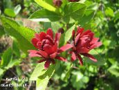 red Sweet Shrub, Carolina Allspice, Strawberry Shrub, Bubby Bush, Sweet Betsy