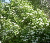 white European Cranberry Viburnum, European Snowball Bush, Guelder Rose