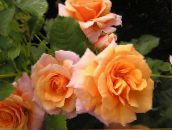 orange Polyantha rose