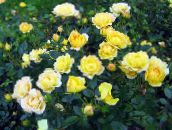 yellow Polyantha rose
