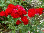 red Polyantha rose