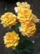 yellow Grandiflora rose
