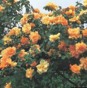 orange Rose Rambler, Climbing Rose