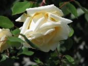 yellow Rose Rambler, Climbing Rose