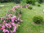 pink Rose Ground Cover