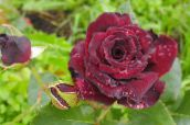 burgundy Hybrid Tea Rose