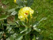yellow Hybrid Tea Rose