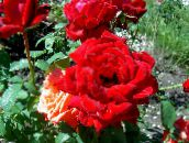 red Hybrid Tea Rose