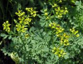 yellow Common Rue, Garden Rue, Herb of Grace, Herbygrass