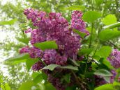 burgundy Common Lilac, French Lilac