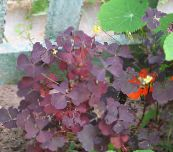 burgundy,claret Wood Sorrel, Whitsun Flower, Green Snob, Sleeping Beauty Leafy Ornamentals