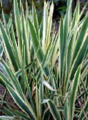 multicolor Adam's Needle, Spoonleaf Yucca, Needle-Palm Leafy Ornamentals