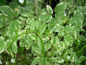 multicolor Bishop's Weed, Goutweed, Ground Elder Leafy Ornamentals