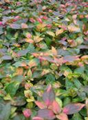 multicolor Alternanthera Leafy Ornamentals