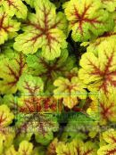 multicolor Heucherella, Foamy Bells Leafy Ornamentals
