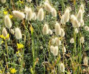 light green Hare's Tail Grass, Bunny Tails Cereals