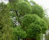 light green Willow