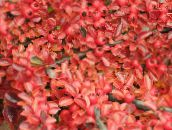 red Cotoneaster horizontalis