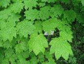 light green Maple