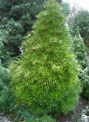 light green Japanese Umbrella Pine