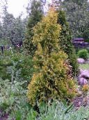yellow Thuja