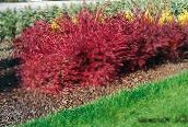 red Barberry, Japanese Barberry