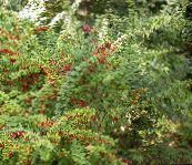 green Barberry, Japanese Barberry