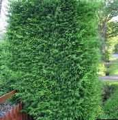 light green Leyland cypress