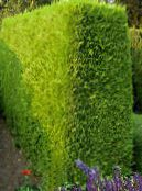 yellow Leyland cypress