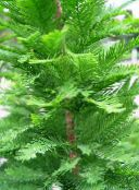 light green Bald Cypress