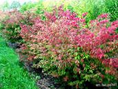 red Euonymus