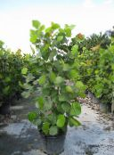 green Sea Grape Tree