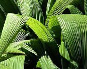 green Curculigo, Palm Grass Herbaceous Plant