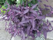 purple Purple Heart Wandering Jew Hanging Plant