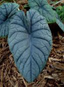 silvery Elephants Ear Herbaceous Plant