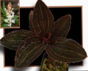 brown Jewel Orchid Herbaceous Plant