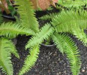 green Sword Fern Herbaceous Plant