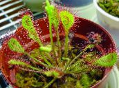 red Round-leaved sundew Herbaceous Plant
