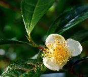 green Tea Shrub