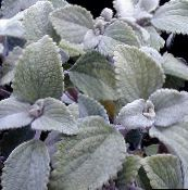 silvery Swedish Ivy Shrub