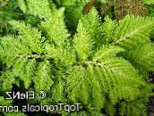 light green Selaginella Herbaceous Plant