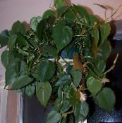 green Philodendron liana