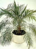 green Date Palm Tree