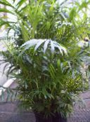 green Bamboo palm Shrub
