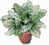 motley Aglaonema, Silver Evergreen Herbaceous Plant