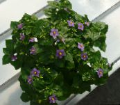 purple Persian Violet Herbaceous Plant