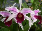 pink Laelia Herbaceous Plant