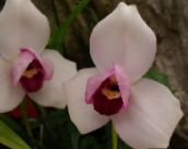 pink Lycaste Herbaceous Plant